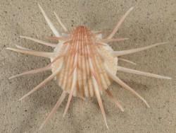 Spondylus imperialis *rosa* PH 11,8cm *Unikat*