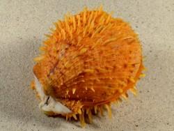 Spondylus variegatus orange PH 8cm *Unikat*