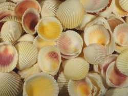 Gelbe Herzmuschel 1/2 2,5-4cm (x10)