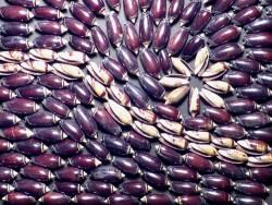 Schwarze Olivenschnecke 1-2cm (x20)