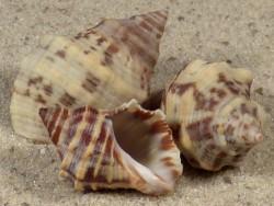 Stramonita rustica US 2+cm