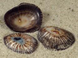 Siphonaria pectinata PT 1,6+cm