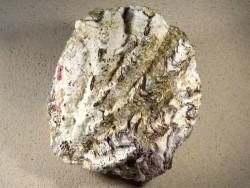 Hyotissa hyotis MG 16,5cm *Unikat*