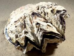 Hyotissa hyotis MG 14,7cm *Unikat*