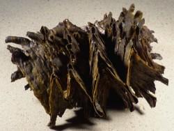 Hyotissa hyotis PH 17cm *Unikat*