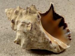 Menathais tuberosa TH 5cm *Unikat*