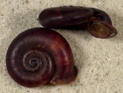 Pterocyclus tenuilabiatum *dunkel* m/O ID 2,1+cm