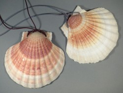Pilgermuschel tiefe Klappe 11-12cm am Lederband