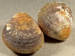 Laevicardium crassum UK 5,8+cm