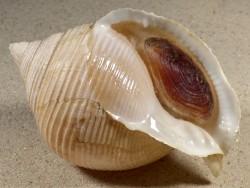 Galeodea rugosa m/O IE 9,1cm *Unikat*