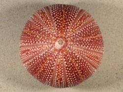 Echinus esculentus 11,1cm ~ Sonderpreis