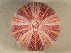 Echinus esculentus 11,3cm *Unikat*