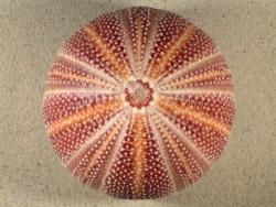 Echinus esculentus 11,9cm *Unikat*