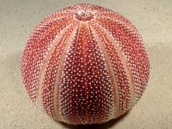 Echinus esculentus 12,1cm *Unikat*