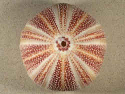 Echinus esculentus 12,7cm ~ Sonderpreis