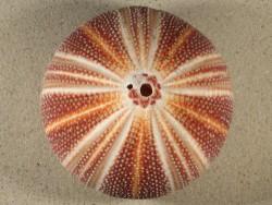 Echinus esculentus 12,3cm ~ Sonderpreis