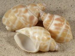 Babylonia lutosa 2,9+cm