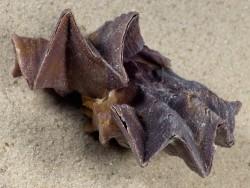 Lopha cristagalli *Cluster* PH 6,6cm