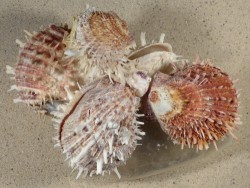 Spondylus cluster on plastic bottle PH 17,5cm *unique*