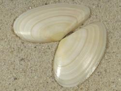 Peronidia albicans FR-Mittelmeer 4,2cm *Unikat*