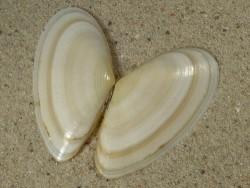 Peronidia albicans FR-Mittelmeer 4,5cm *Unikat*