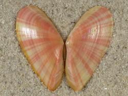 Moerella pulchella FR-Mittelmeer 2,9cm *Unikat*