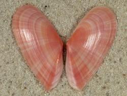 Moerella pulchella FR-Mittelmeer 3cm *Unikat*