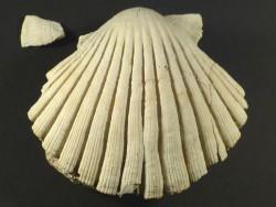 Jakobsmuschel Pecten jacobaeus Pliozän ES 7,7cm