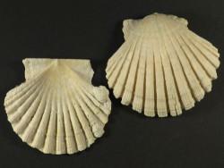 Pecten jacobaeus Pliozän ES 5,3 und 5,7cm
