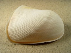 Trisidos semitorta 8,5+cm