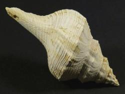 Euthriofusus burdigalensis Miozän FR 5,5cm