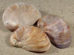 Crepidula fornicata FR-Ärmelkanal 5+cm