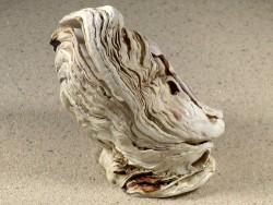 Crassostrea gigas FR-Ärmelkanal 8,8cm *Unikat*