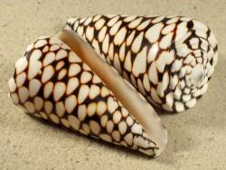 Conus marmoreus PH 8+cm