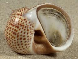 Natica stercusmuscarum m/O FR-Mttelmeer 3,1cm *Unikat*