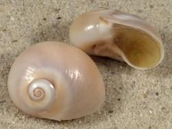 Neverita josephinia m/O FR-Mittelmeer 1,8+cm