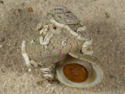 Gibbula divaricata m/O FR-Mittelmeer 1,7cm *Unikat*