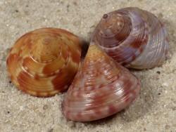 Calliostoma zizyphinum FR-Mittelmeer 1,5+cm (x3) ~ Farbenset