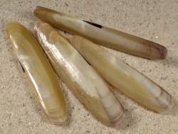 Pharus legumen FR-Mittelmeer 5+cm