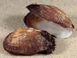 Barbatia barbata FR-Mittelmeer 5+cm