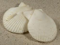 Mimachlamys varia *weiß* UK 4+cm