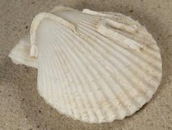 Mimachlamys varia *weiß* UK 5,6cm *Unikat*