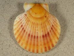 Aequipecten opercularis UK-Nordsee 5,5cm *Unikat*