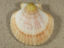 Aequipecten opercularis UK 6,1cm *Unikat*