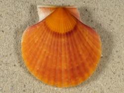 Aequipecten opercularis UK 4,9cm *Unikat*