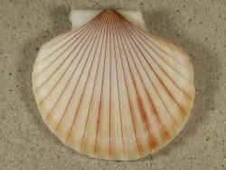 Aequipecten opercularis lineata UK-Keltische-See 6,6cm