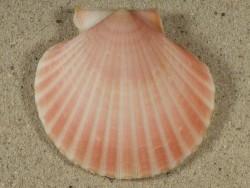 Aequipecten opercularis UK-Irische-See 5,6cm *Unikat*