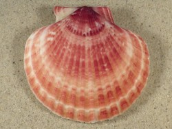 Aequipecten opercularis UK-Irische-See 7,2cm *Unikat*