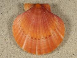 Aequipecten opercularis UK 5,8cm *Unikat*