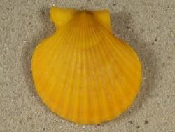 Aequipecten opercularis UK 4cm *Unikat*